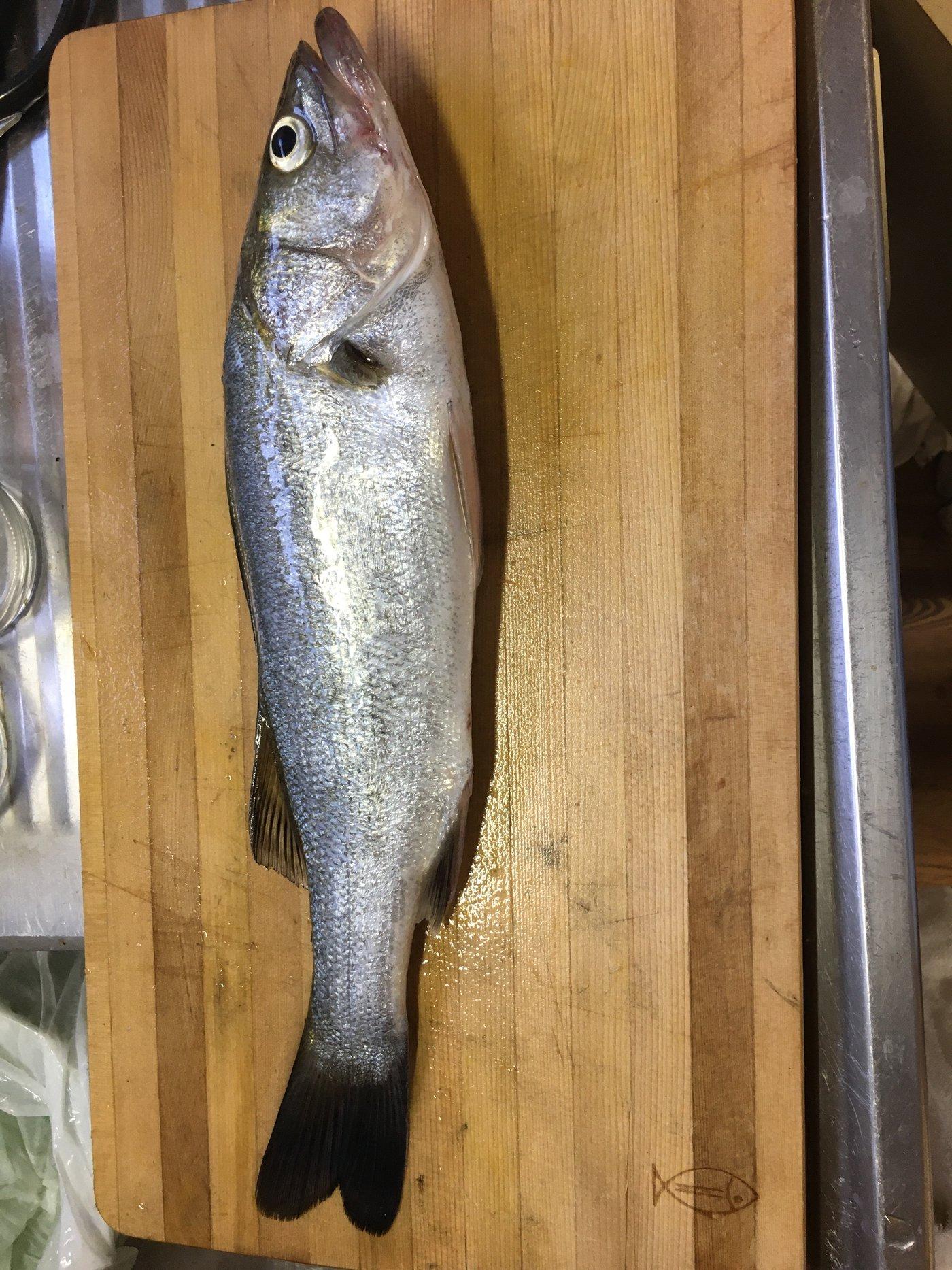 釣り道楽さんの投稿画像,写っている魚はスズキ