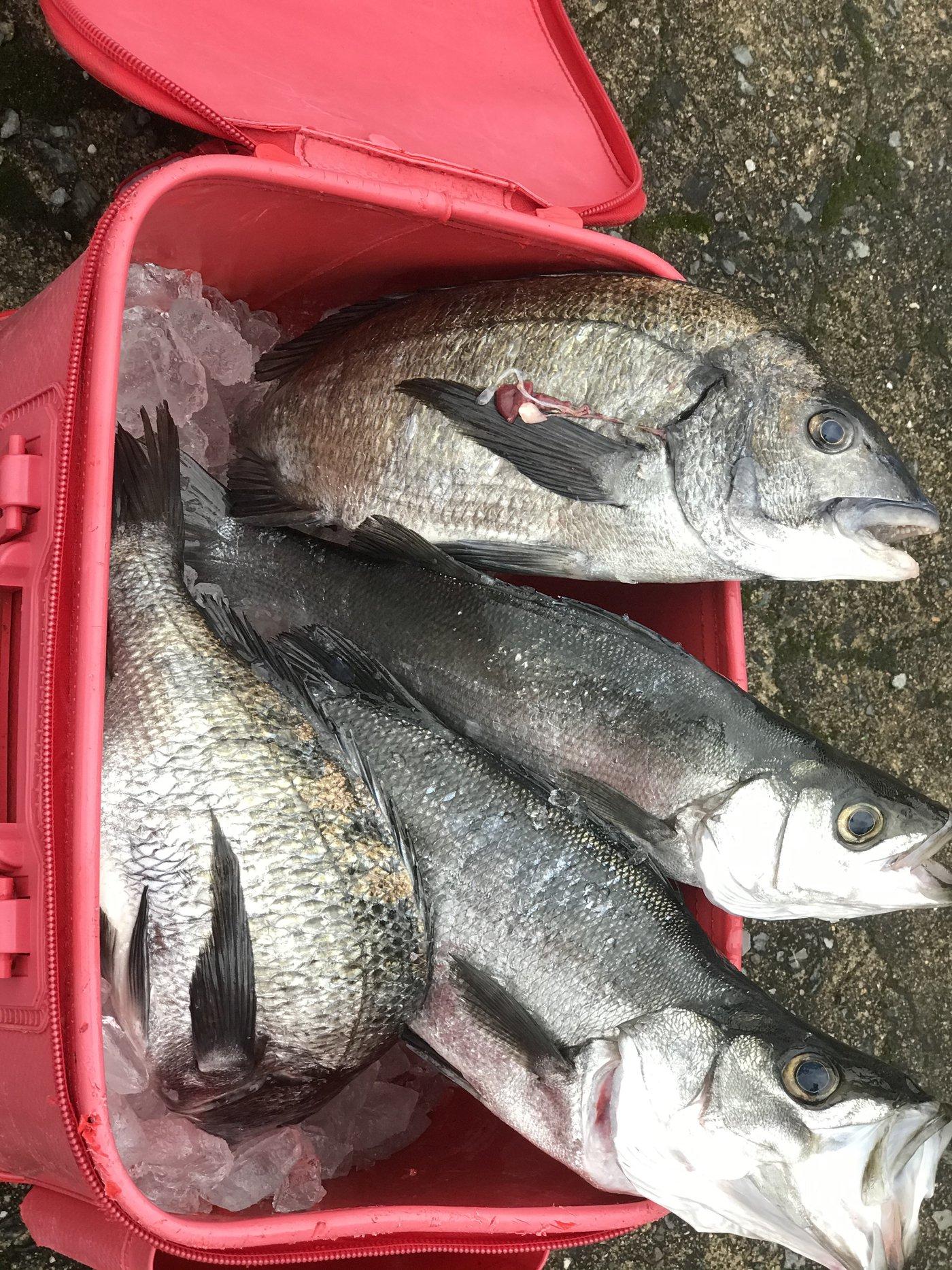 釣りキチみずき🐳🐠🐡🐙🐟🐬さんの投稿画像,写っている魚はクロダイ,スズキ