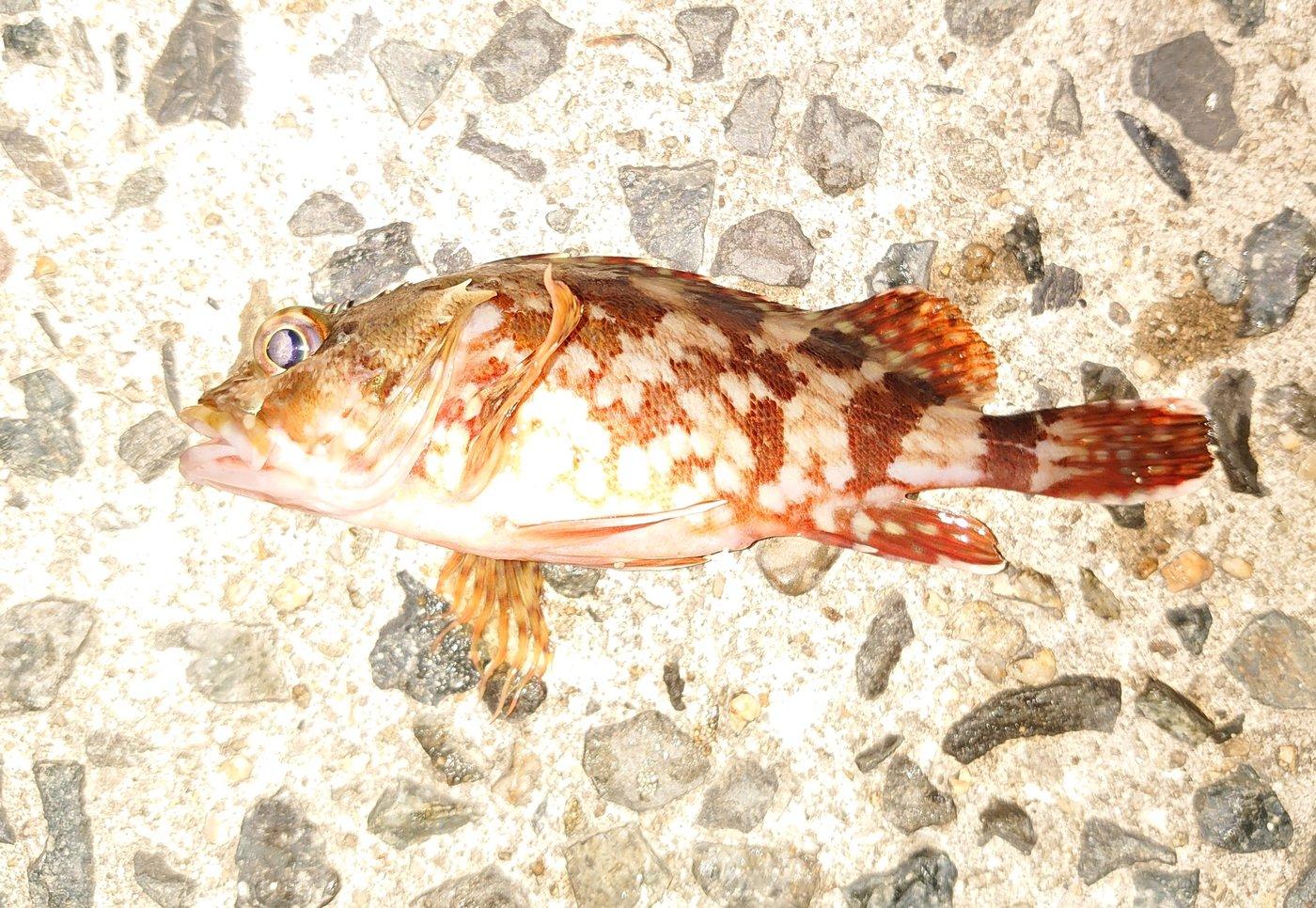 ぴやーんさんの投稿画像,写っている魚はカサゴ