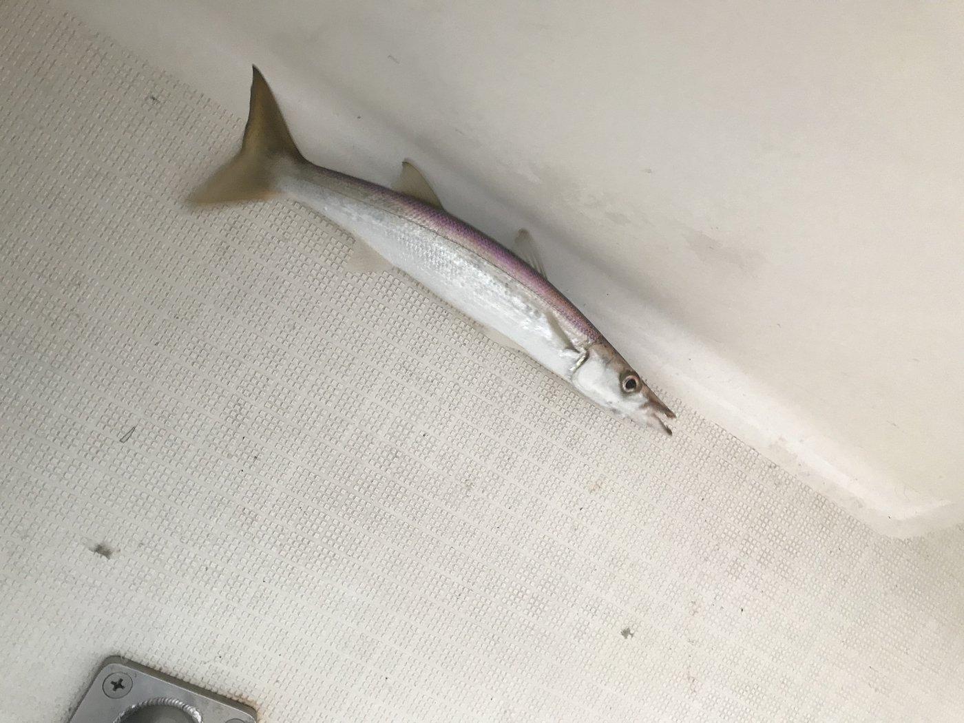 根掛かり王子さんの投稿画像,写っている魚はカマス