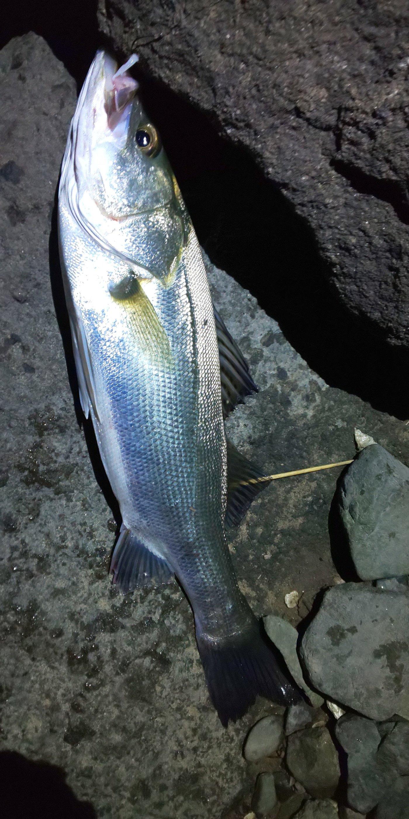梅宮さんの投稿画像,写っている魚はスズキ