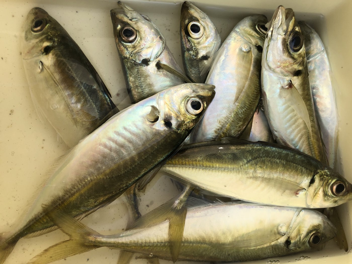 タイさんの投稿画像,写っている魚はアジ