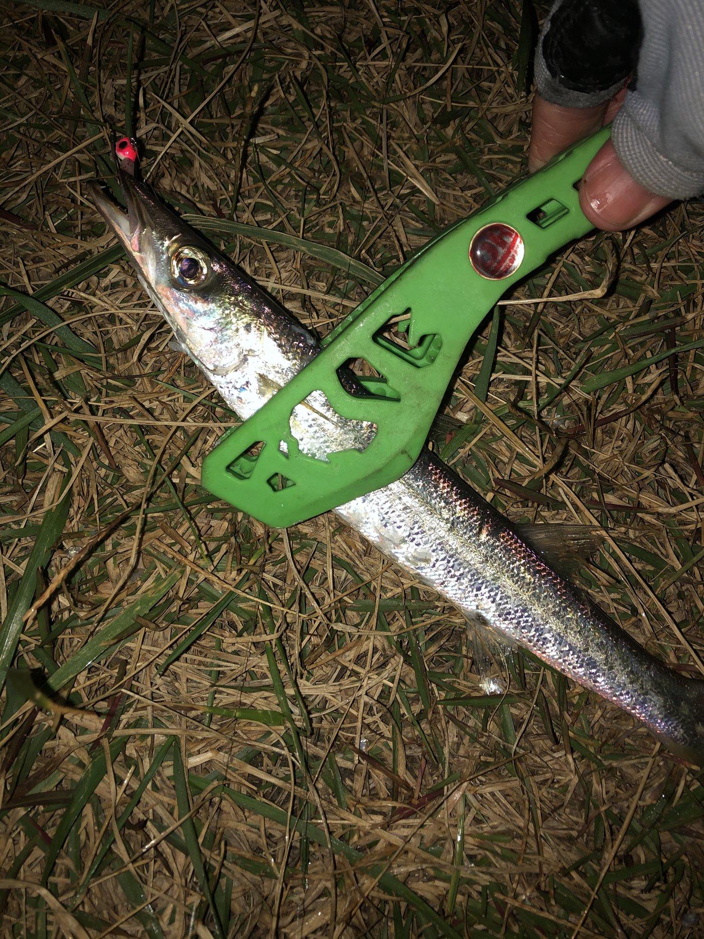 ぴーちく P竹さんの投稿画像,写っている魚はカマス
