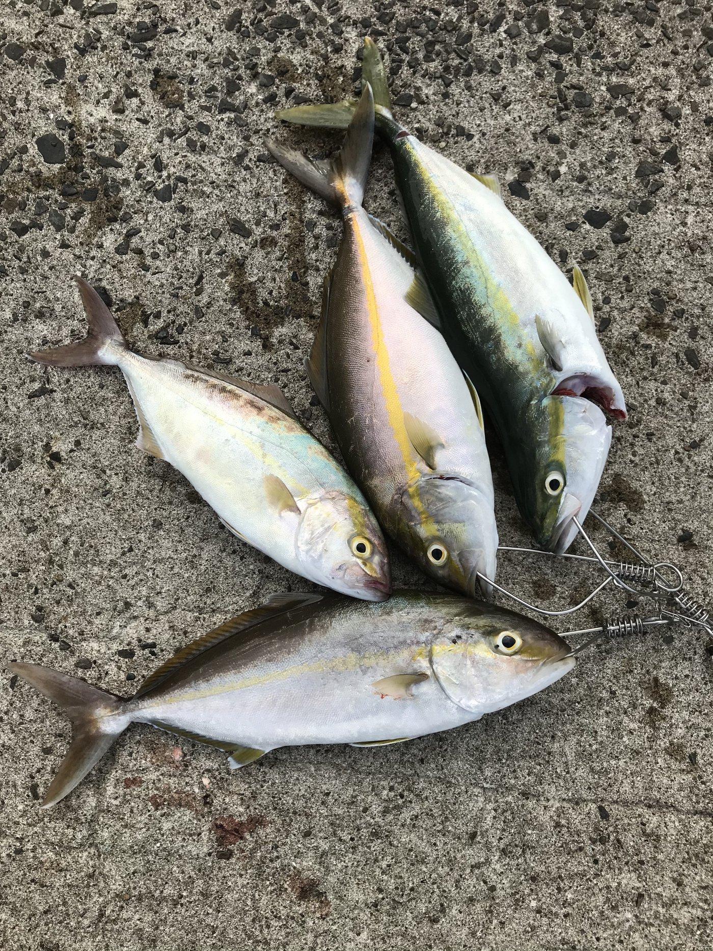 TETOさんの投稿画像,写っている魚はカンパチ,ブリ