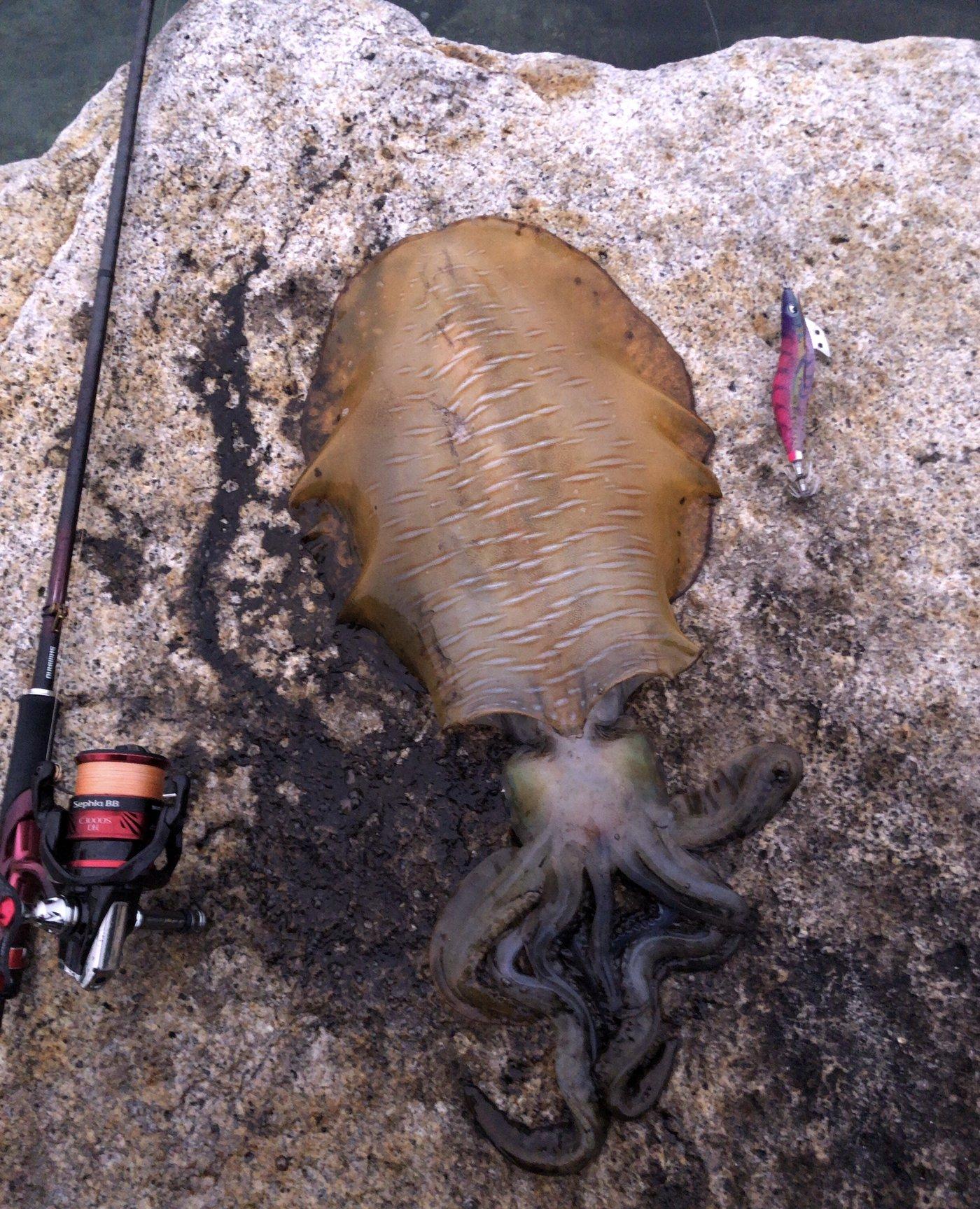 Jyoji Yamaguchiさんの投稿画像,写っている魚はアオリイカ