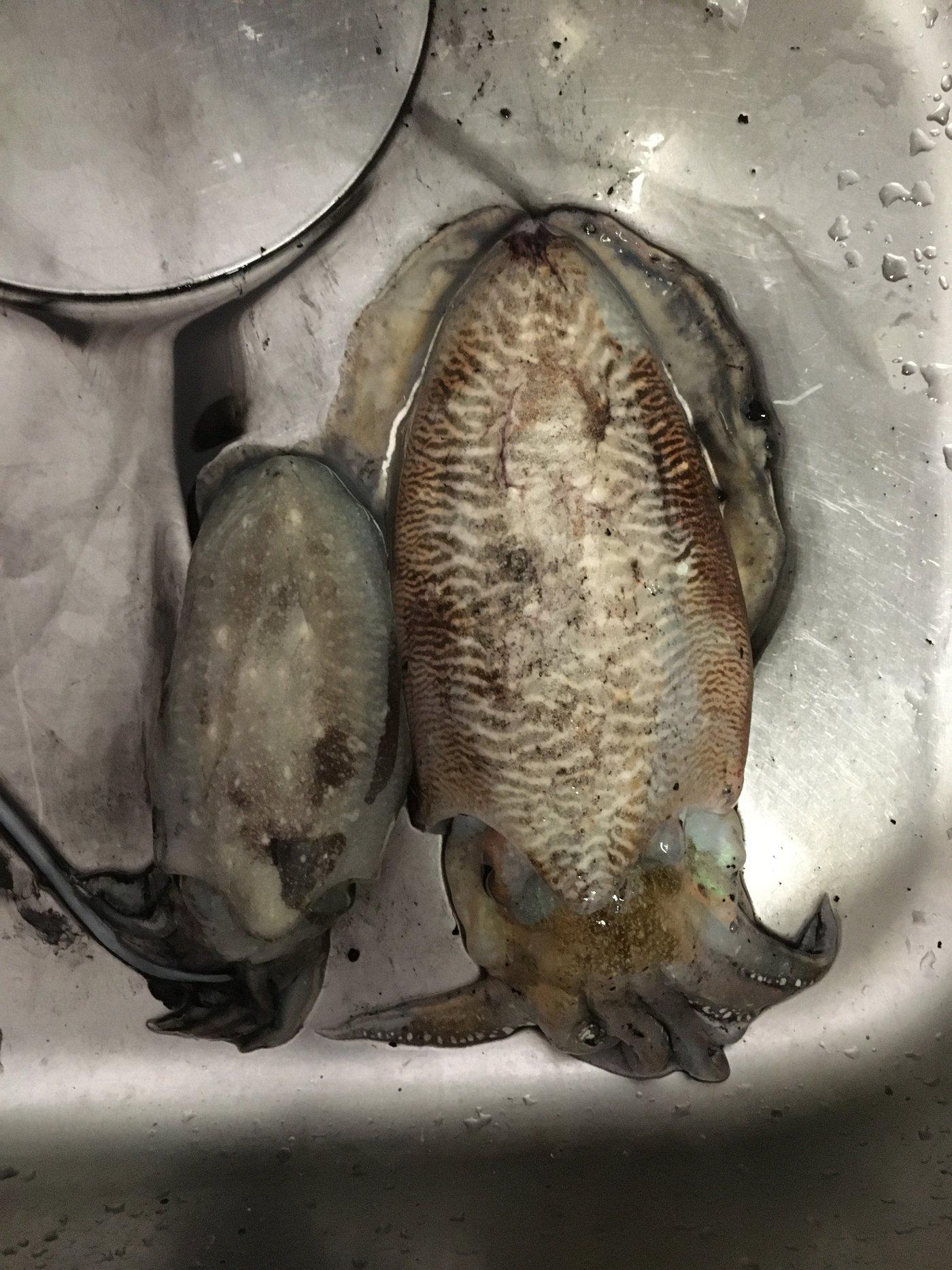 タコさんの投稿画像,写っている魚はコウイカ