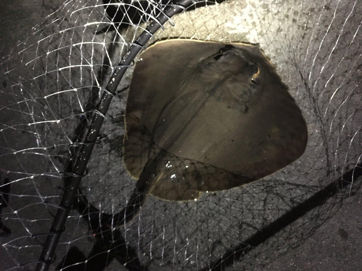 陸軍KO-1さんの投稿画像,写っている魚はアカエイ