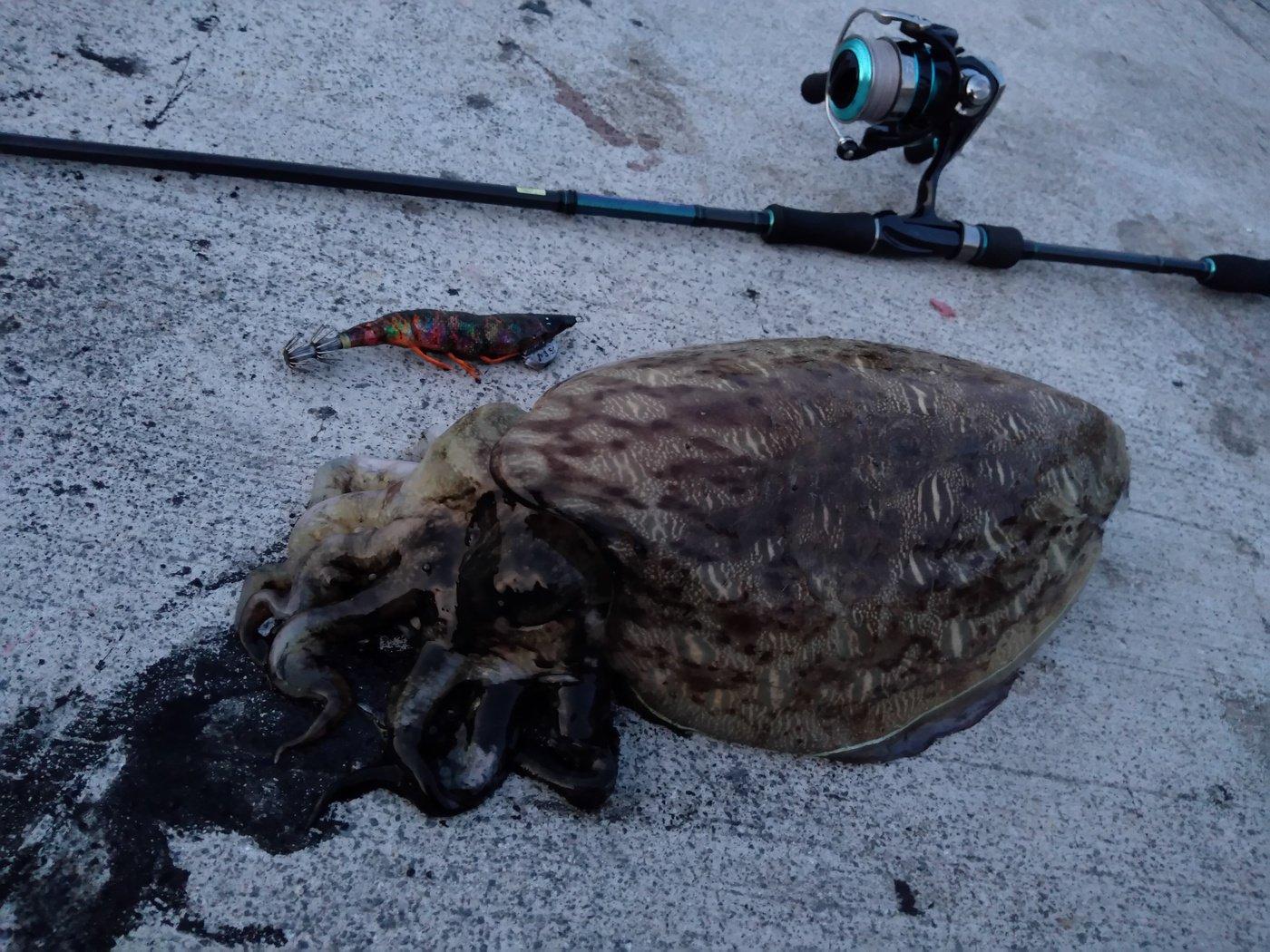 ぐりんさんの投稿画像,写っている魚はコウイカ