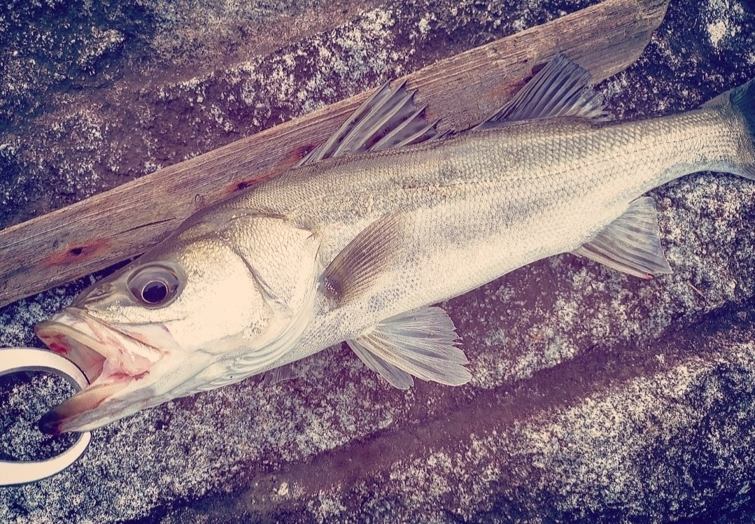 ドゥラメンテさんの投稿画像,写っている魚は