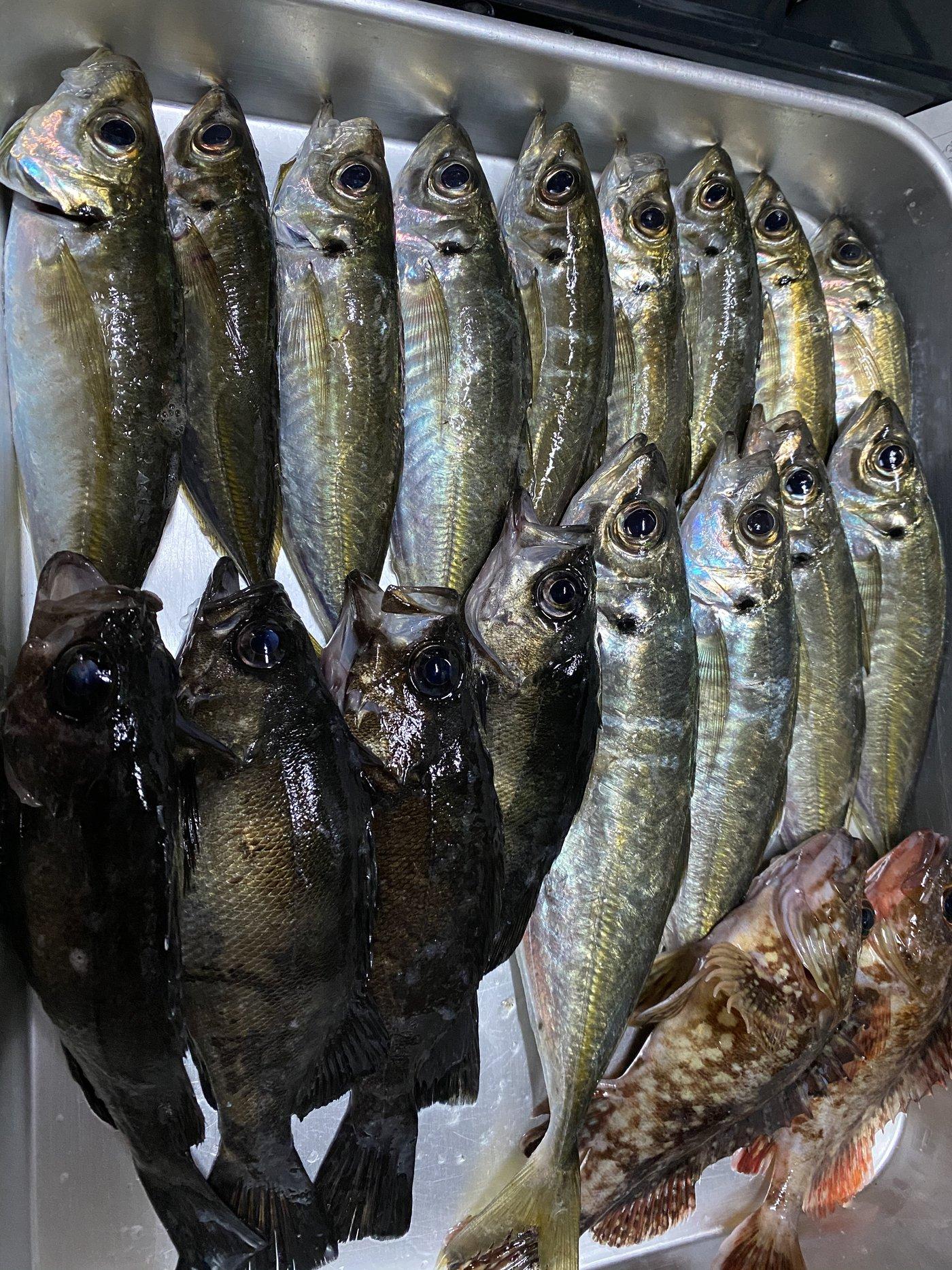 おちょっぽさんの投稿画像,写っている魚はメバル,アジ,カサゴ