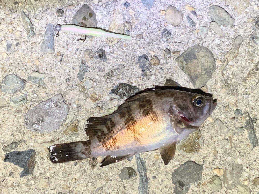うんすいさんの投稿画像,写っている魚はメバル