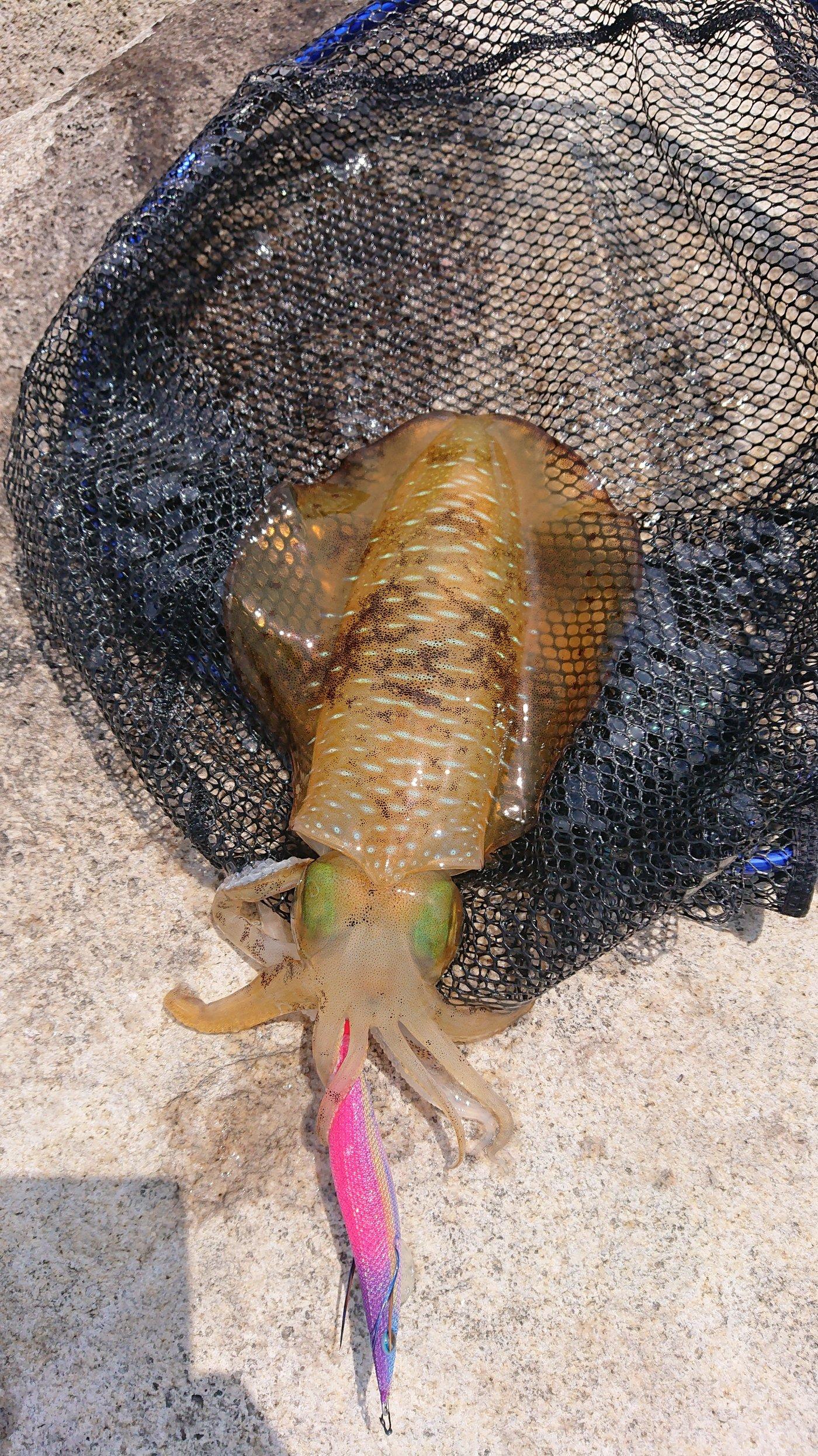 ピョンさんの投稿画像,写っている魚はアオリイカ