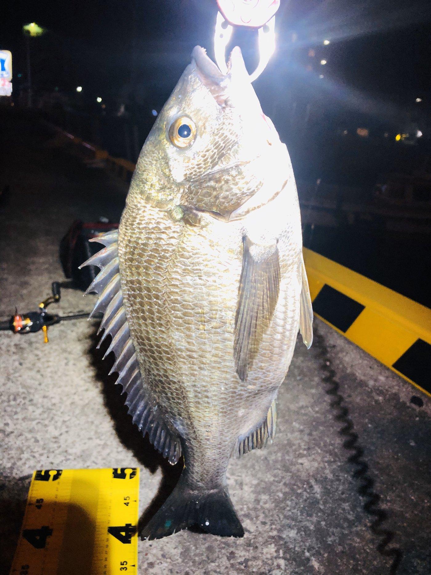 ゆうりんこむしさんの投稿画像,写っている魚はクロダイ