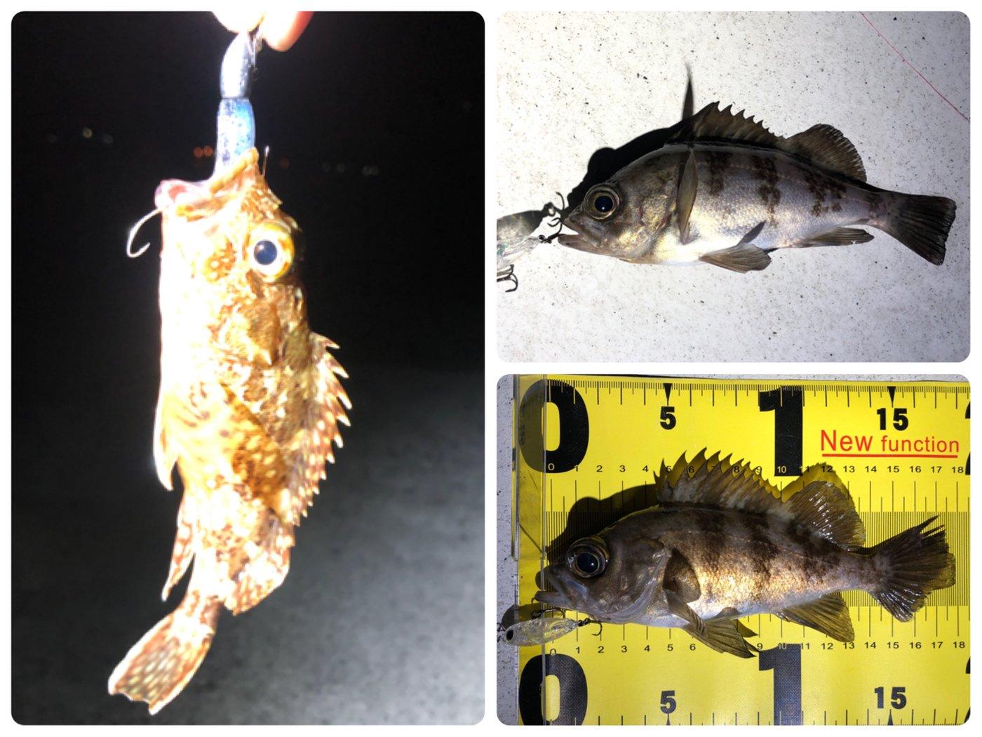 ゆうりんこむしさんの投稿画像,写っている魚はメバル