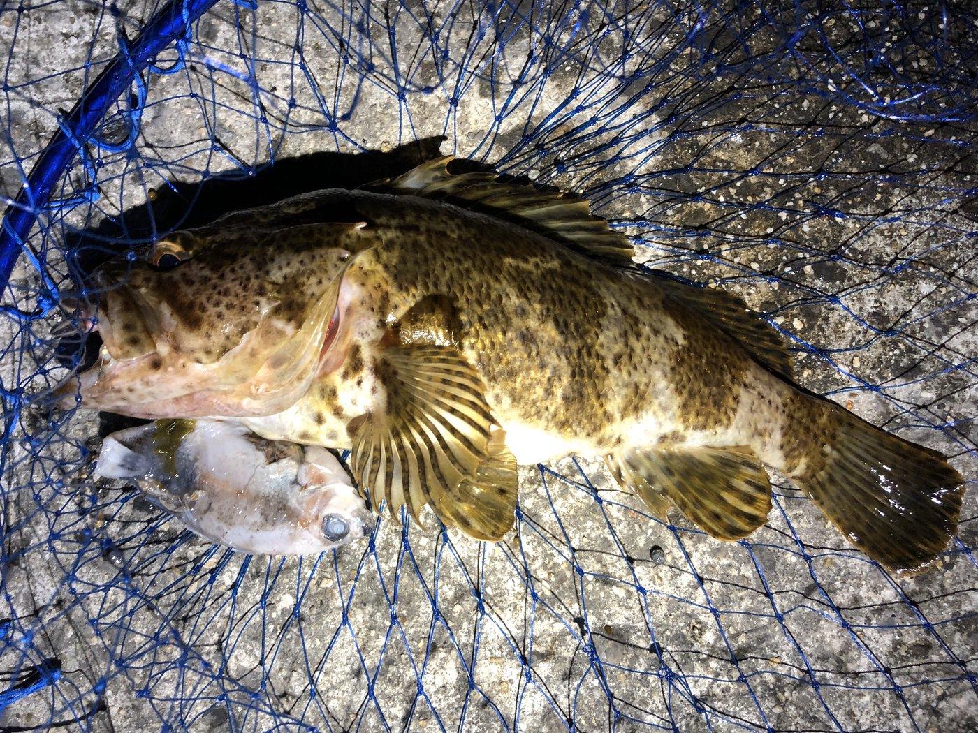 ゆうりんこむしさんの投稿画像,写っている魚はタケノコメバル