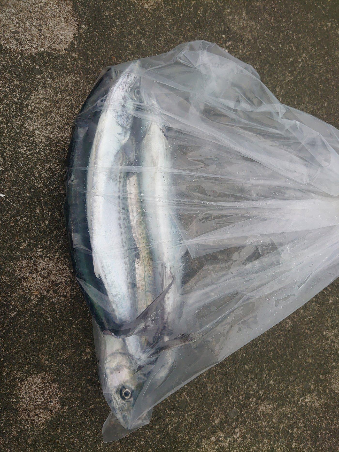 堺さんの投稿画像,写っている魚は,サワラ