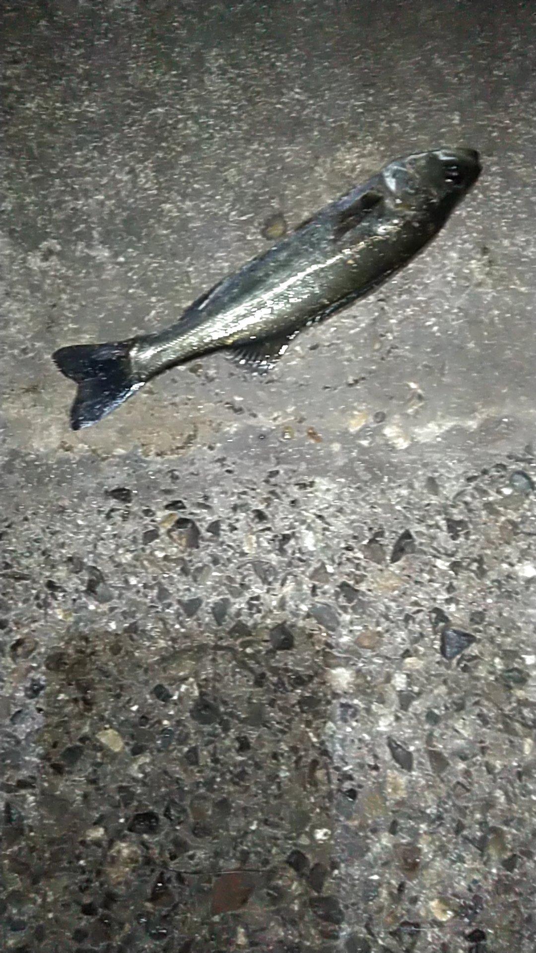すけももさんの投稿画像,写っている魚はスズキ