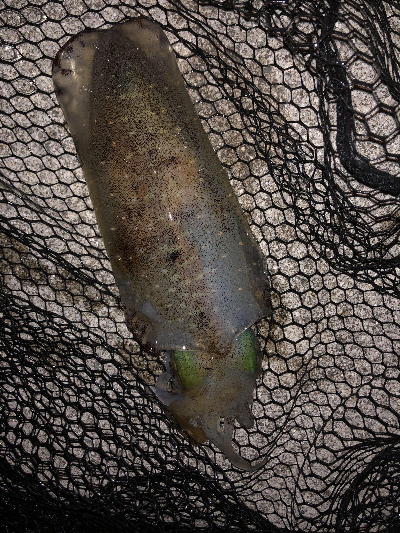 ゆーさんの投稿画像,写っている魚はアオリイカ