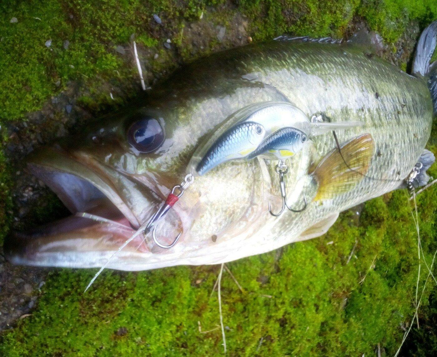 nofishingnolifeさんの投稿画像,写っている魚は,ブラックバス