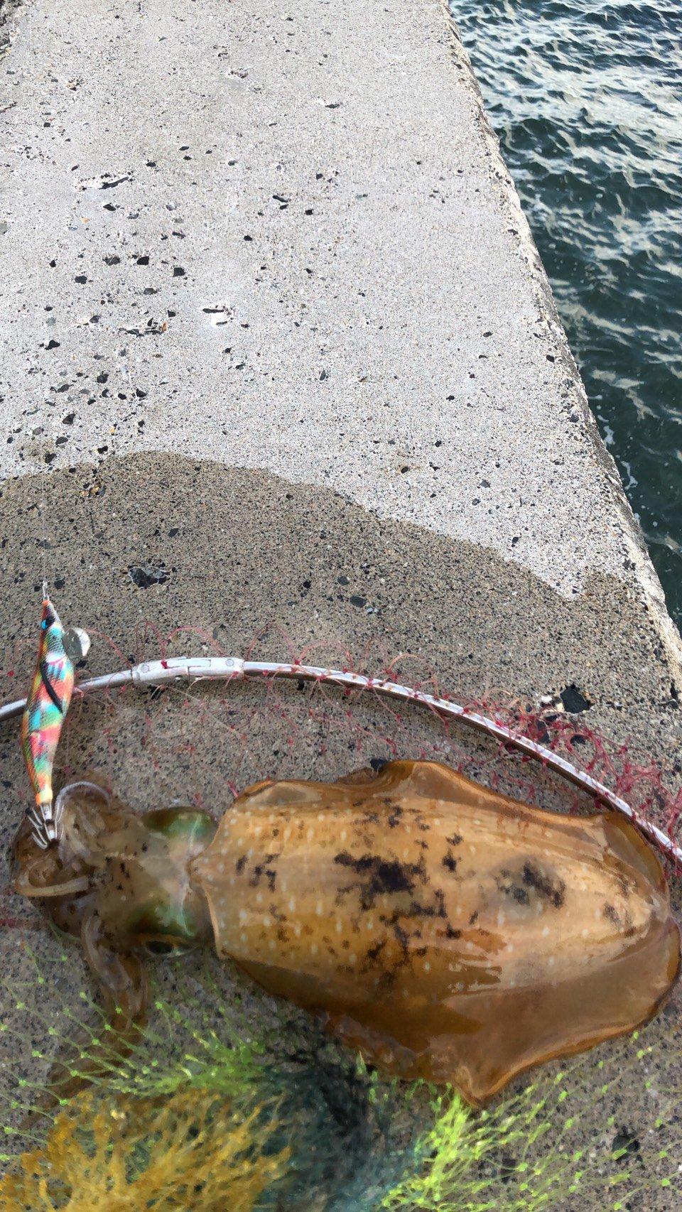 マル【釣狂乱】さんの投稿画像,写っている魚はアオリイカ