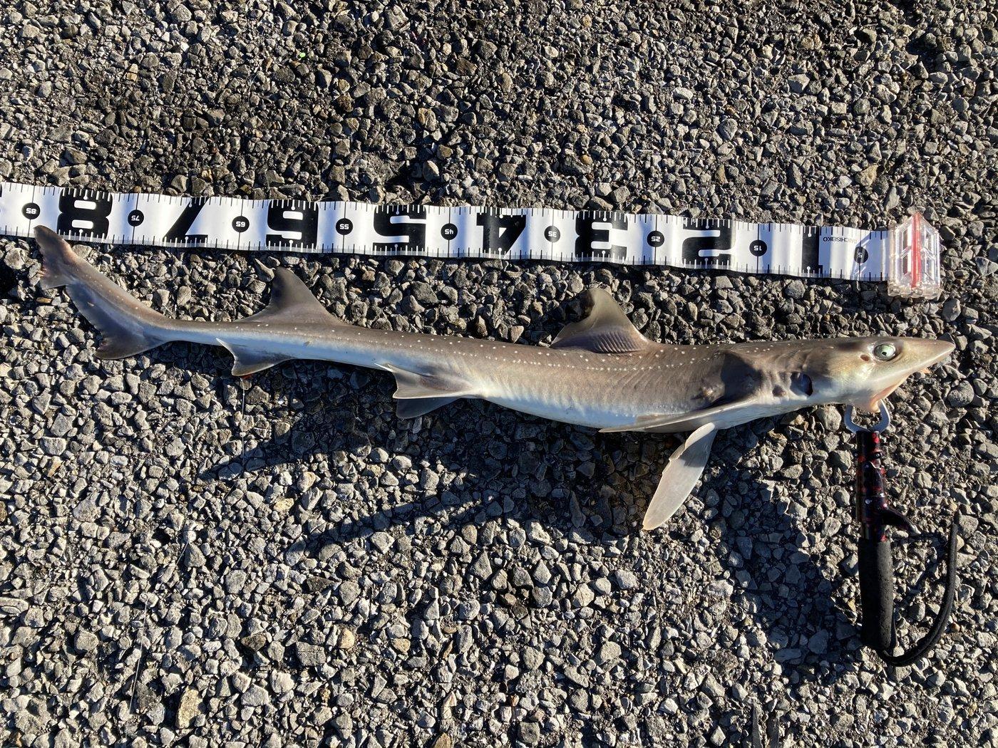 ホシザメの写真