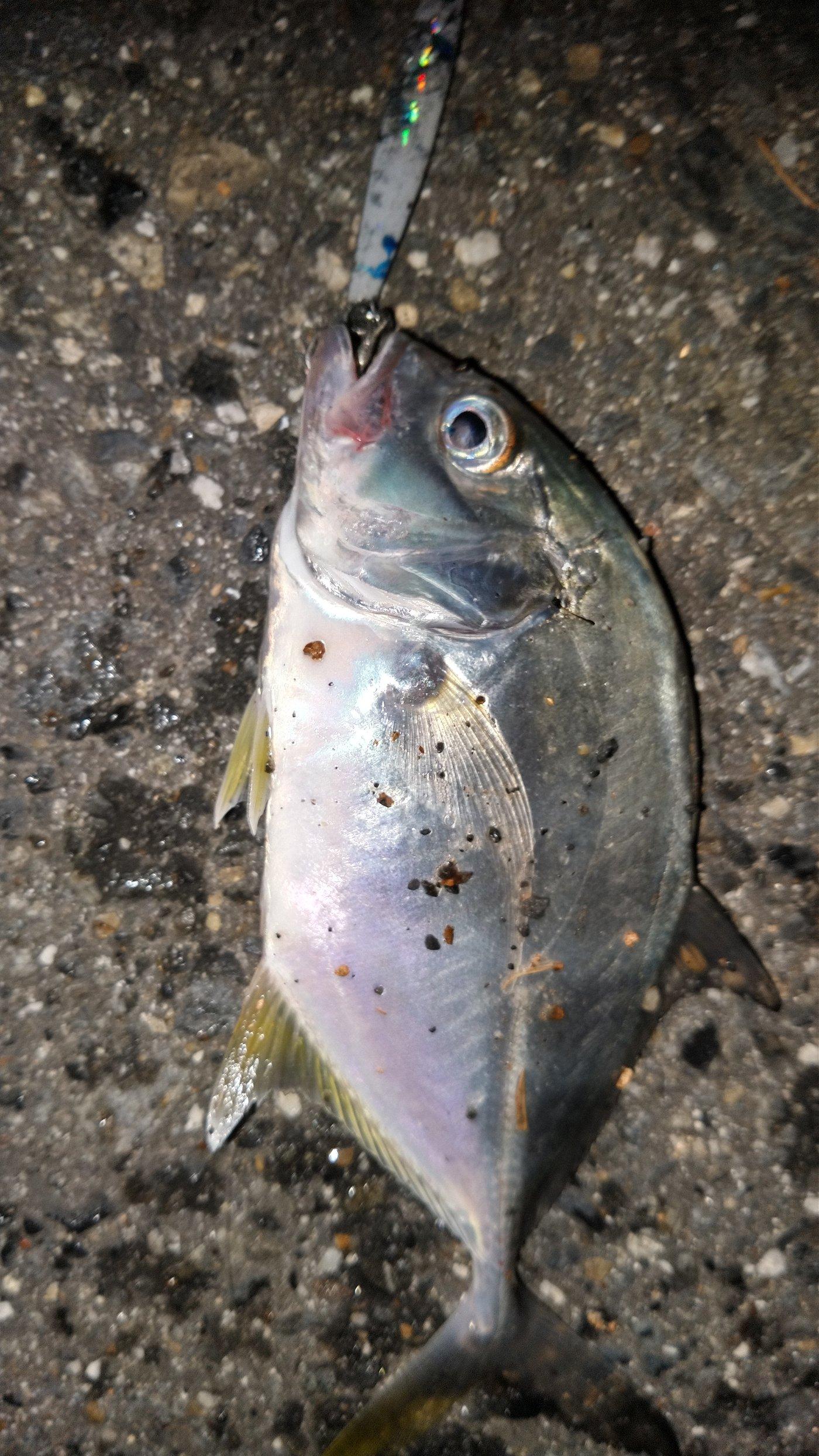 あんぐら~自己チュウ心派さんの投稿画像,写っている魚はギンガメアジ