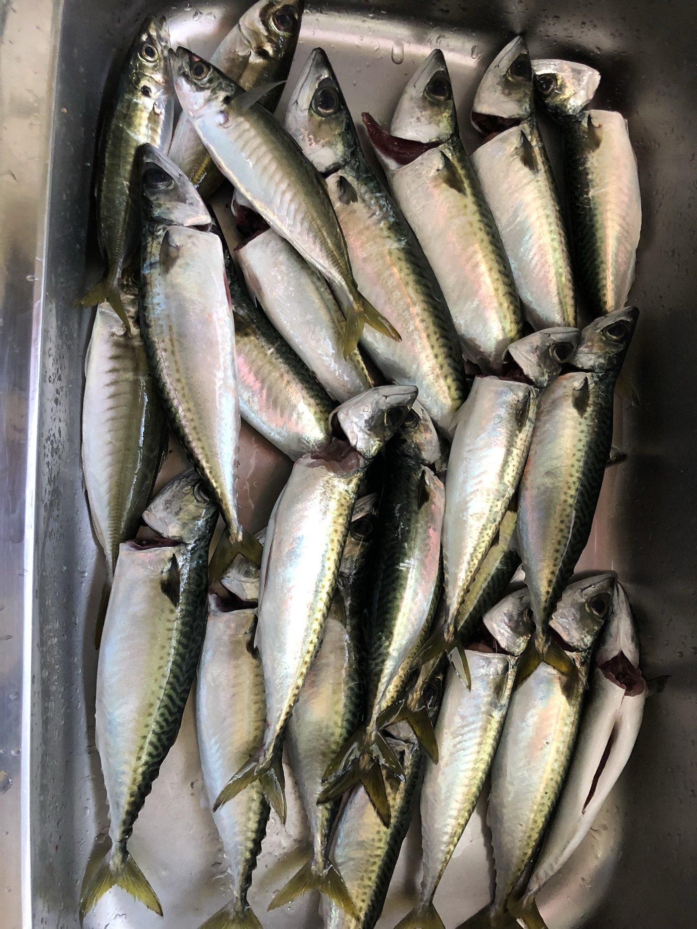 のりさんの投稿画像,写っている魚はマサバ