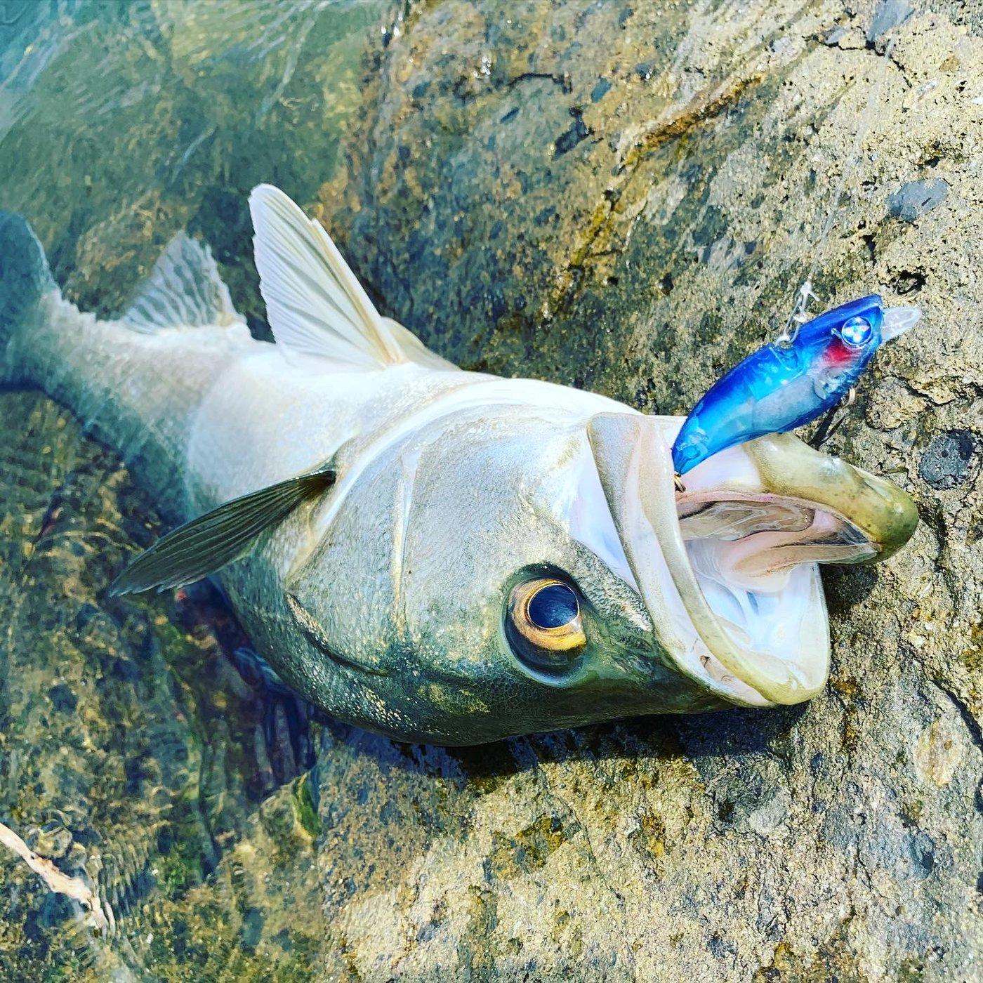 ロランさんの投稿画像,写っている魚はスズキ