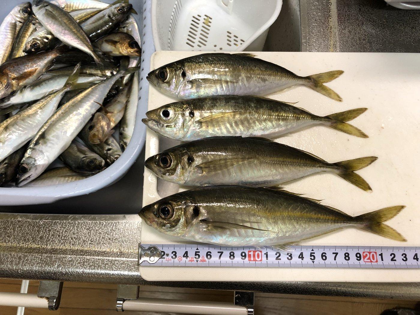 YOSHIPONさんの投稿画像,写っている魚はアジ