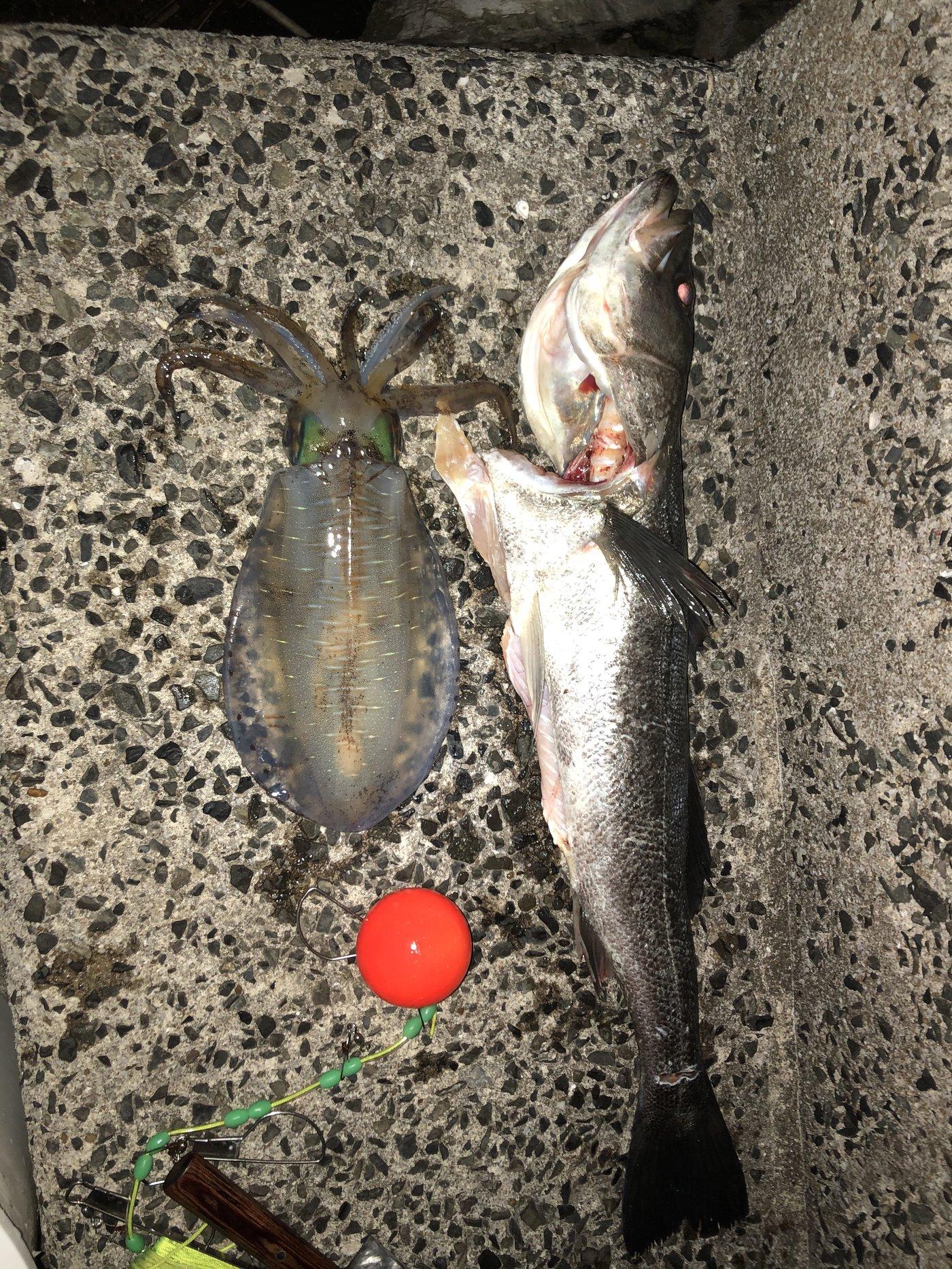 けいじさんの投稿画像,写っている魚はアオリイカ,スズキ